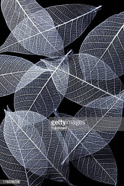 Leaf Skeletons