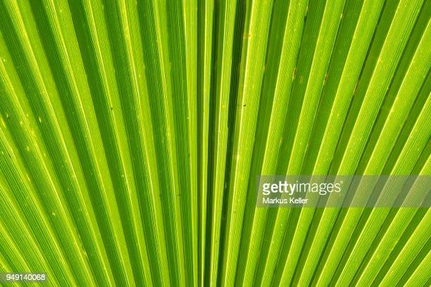 Leaf structure, Mexican fan palm or Mexican washingtonia (Washingtonia robusta), Baden-Wuerttemberg, Germany