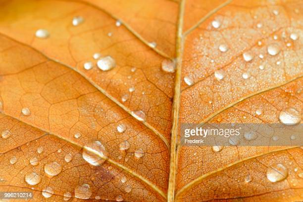 Leaf structure with raindrops, underside of a leaf of the tulip tree (Liriodendron tulipifera), Germany