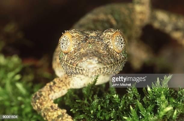 leaf tailed gecko: uroplatus sicorae  madagascar - geco de cola plana fotografías e imágenes de stock