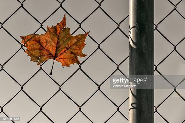 leaf trapped in the fence - vicente méndez fotografías e imágenes de stock