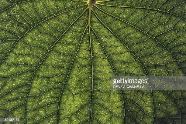 Leaf underside Cuba Detail