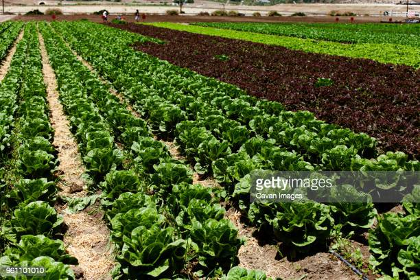 Leaf vegetables growing on field