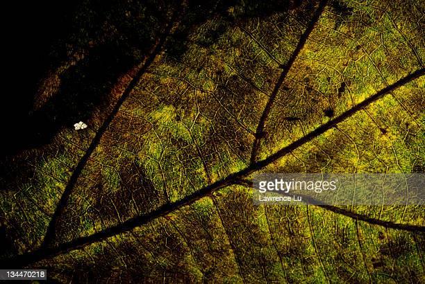 Leaf vein in half dry leaf, grunge look
