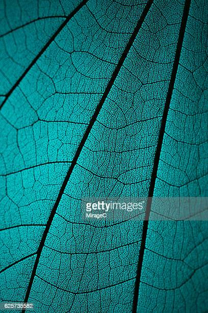 leaf vein skeleton macro cyan tone - extreme nahaufnahme stock-fotos und bilder