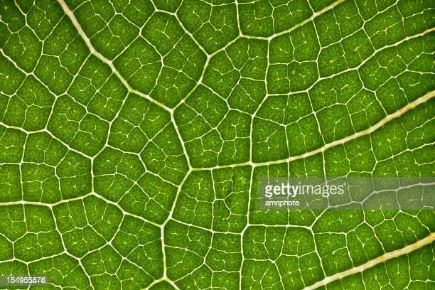 leaf veins, cells and chlorophyll