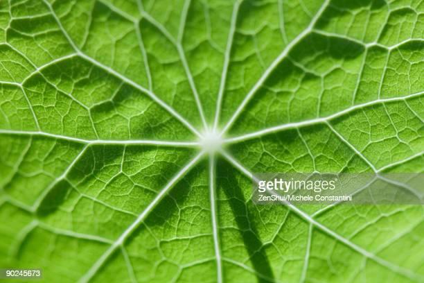 Leaf veins, extreme close-up