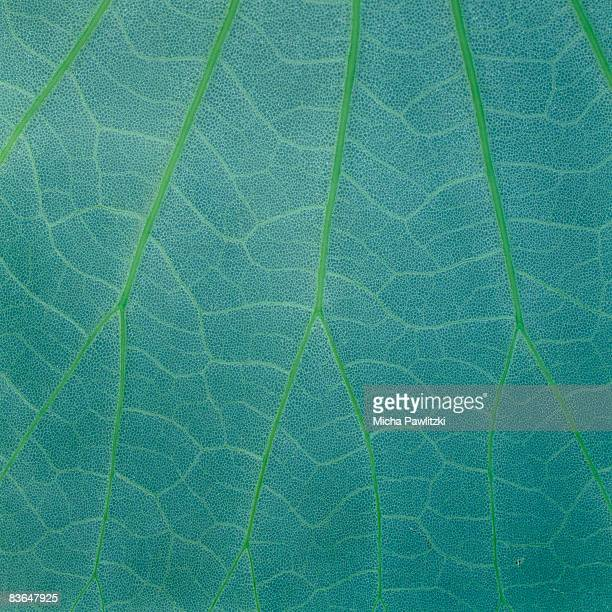 leaf veins in mint green - image stock-fotos und bilder