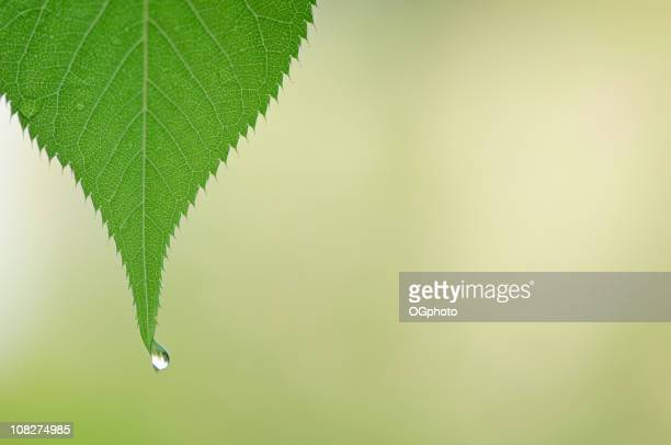 leaf with dew drop - ogphoto stock pictures, royalty-free photos & images