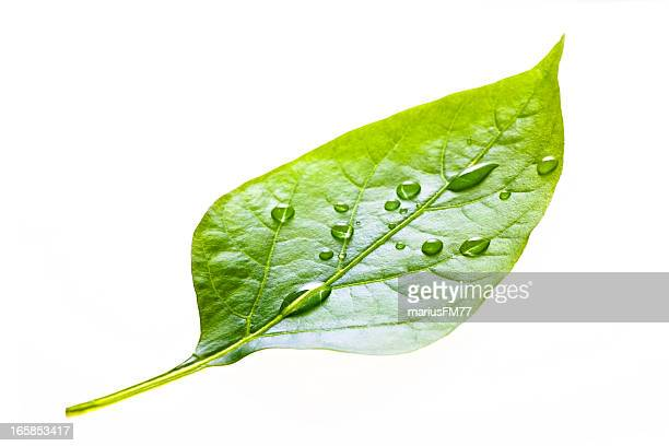 leaf with rain droplets - dew stock photos and pictures