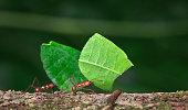 Leaf-cutter ant, Costa Rica