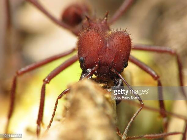 Leafcutter ant frontal close-up, Atta species