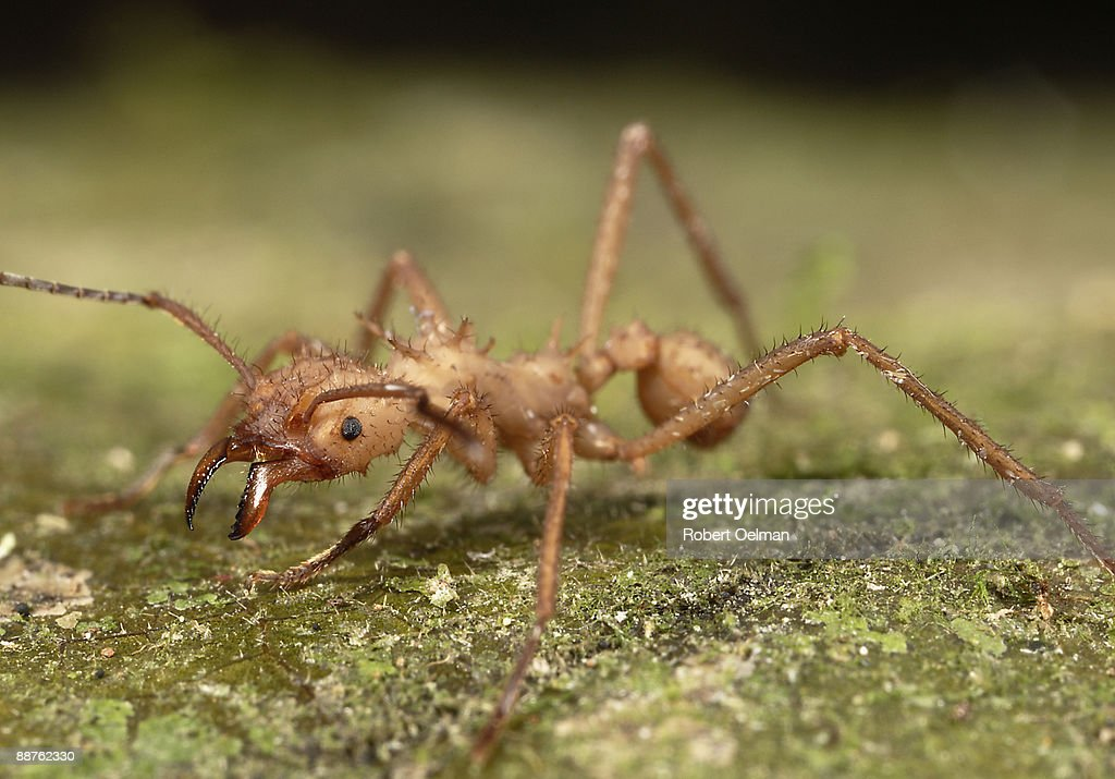 Leafcutter ant (Atta sp.) on ground, Colombia : Stock Photo