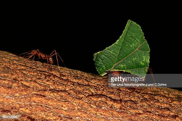 Leafcutter ant, (Atta sexdens)