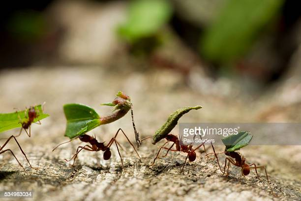 Leafcutter Ants, Costa Rica