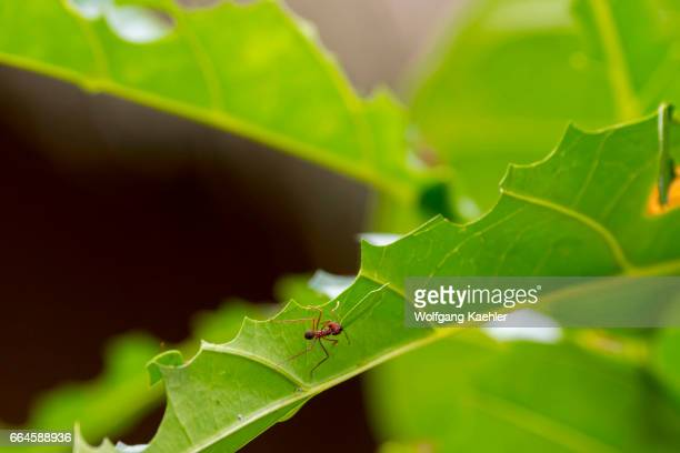 Leafcutter ants cutting up a leaf in order to cultivate fungus for food in their colony in the rain forest near La Selva Lodge near Coca Ecuador