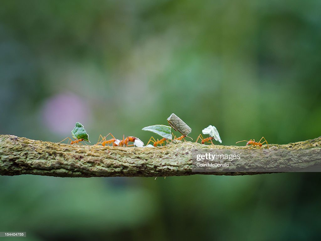 Leaf-cutter ants on branch : Stock Photo