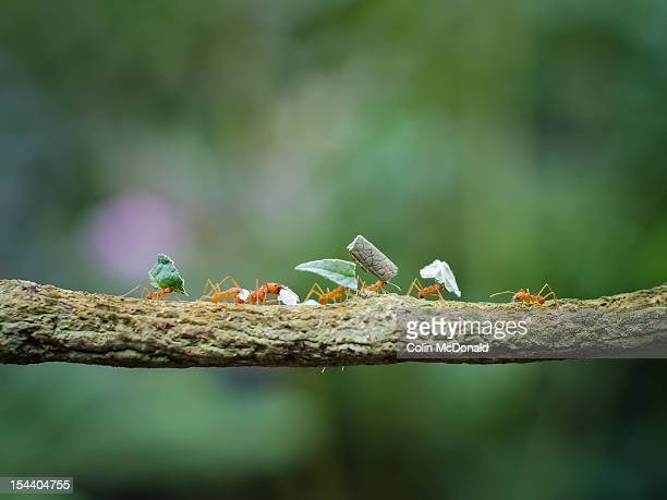 leaf-cutter ants on branch - colony group of animals stock photos and pictures