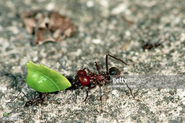 Leafcutter Ants with Pieces of Leaves