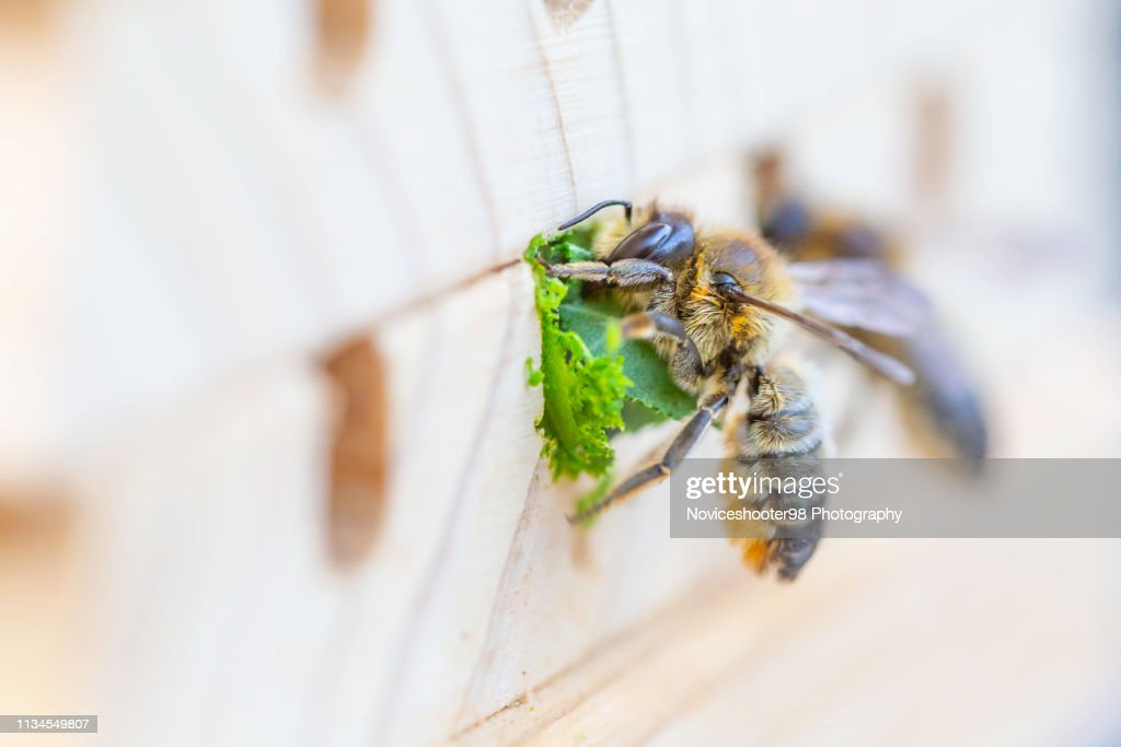 Leafcutter Bee : Stock Photo