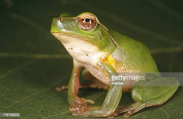 Leafgreen tree frog Litoria phyllochroa East of Craven New South Wales Australia