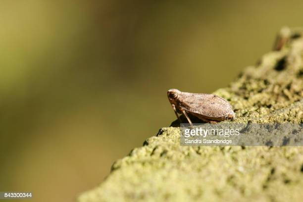 a leafhopper (cicadellidae) perced on a wooden fence. - hertford hertfordshire stock pictures, royalty-free photos & images