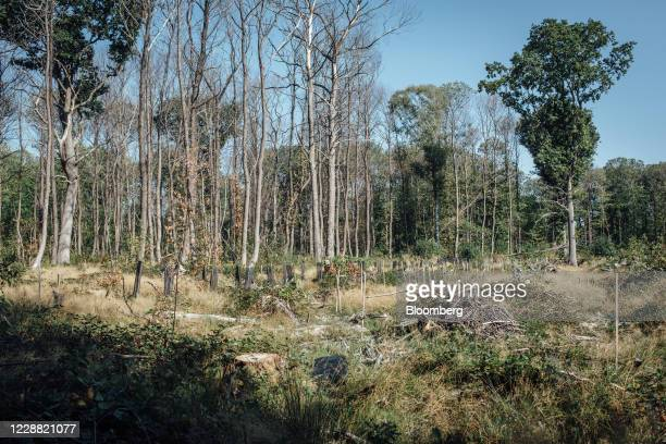 Leafless chesnut trees infected with ink disease stand in the Montmorency forest in Montmorency France on Thursday Sept 17 2020 In the Montmorency...