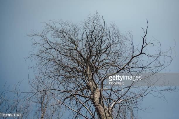 A leafless chesnut trees infected with ink disease stands in Montmorency forest in Montmorency France on Thursday Sept 17 2020 In the Montmorency...