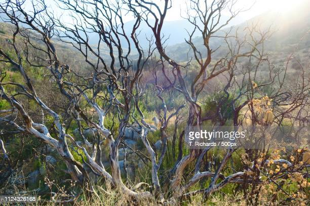 leafless manzanita with wavy radiating branches - manzanita stock pictures, royalty-free photos & images
