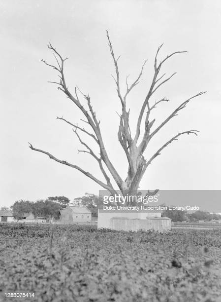 Leafless Tree, China, Ding Xian , Dingzhou Shi , Hebei Sheng , 1931. From the Sidney D. Gamble photographs collection.