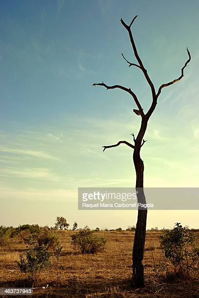 Leafless tree in the dry savanna