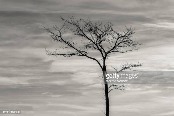 leafless tree in winter - vicente méndez fotografías e imágenes de stock