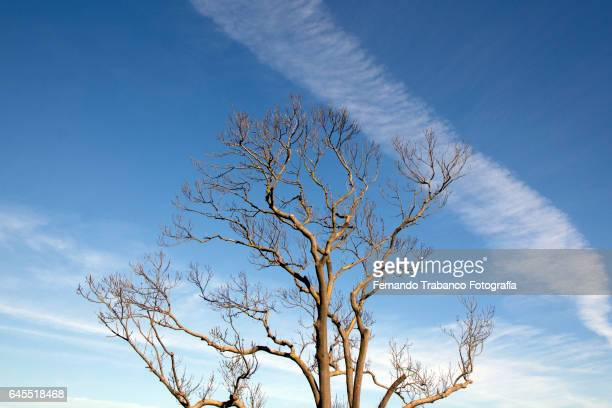 Leafless tree on an autumn day with blue sky and plane wake