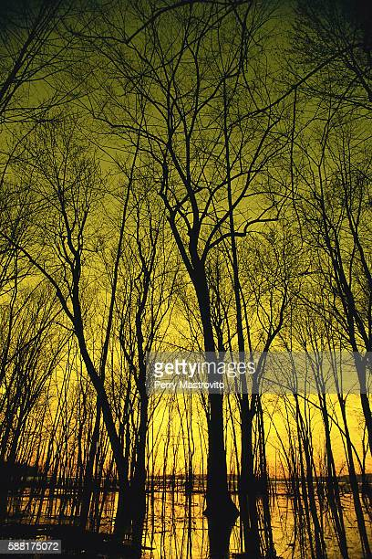 Leafless Trees Silhouetted at Twilight