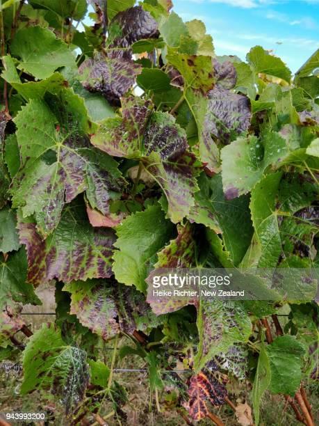 Leafroller virus in the vineyard