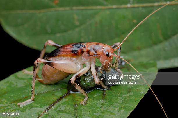 leaf-rolling cricket feeding - cricket insect stock photos and pictures