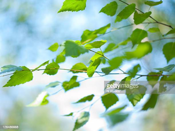 Leafs of a tree, Kochelsee, Bavaria, Germany, Europe