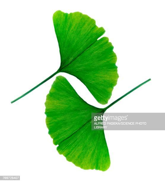 leafs of ginkgo biloba - botany stock pictures, royalty-free photos & images