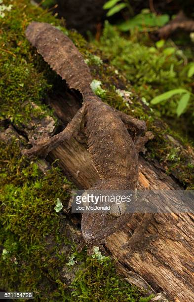 leaf-tail gecko - uroplatus fimbriatus stock pictures, royalty-free photos & images