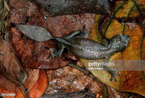 Leaf-tailed Gecko Camouflaged in Dry Leaves