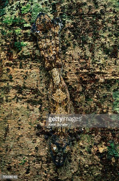 leaf-tailed gecko (uroplatus fimbriatus) camouflaged, madagascar - uroplatus fimbriatus foto e immagini stock