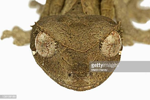 leaf-tailed gecko. (uroplatus phantasticus) camouflaged to resemble dry leaves. dist. madagascar - uroplatus fimbriatus foto e immagini stock