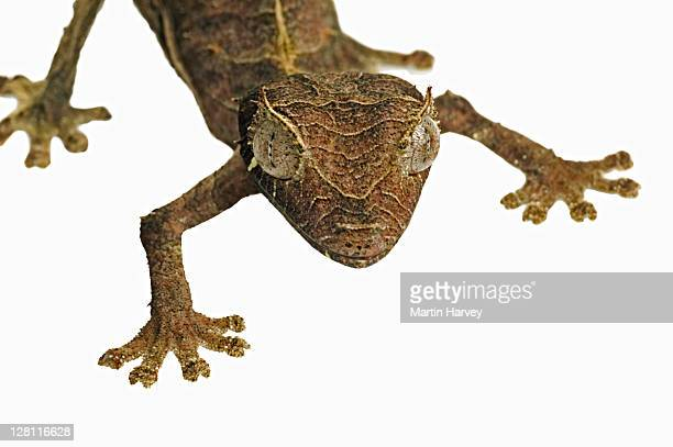 leaf-tailed gecko. (uroplatus phantasticus) camouflaged to resemble dry leaves. dist. madagascar - ヒロオヤモリ ストックフォトと画像
