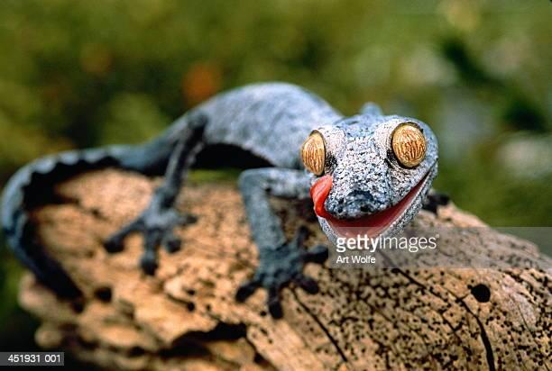 leaf-tailed gecko (uroplatus fimbriatus), close-up - uroplatus fimbriatus foto e immagini stock