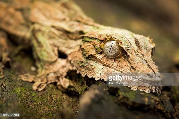 leaf-tailed gecko, madagascar - geco de cola plana fotografías e imágenes de stock