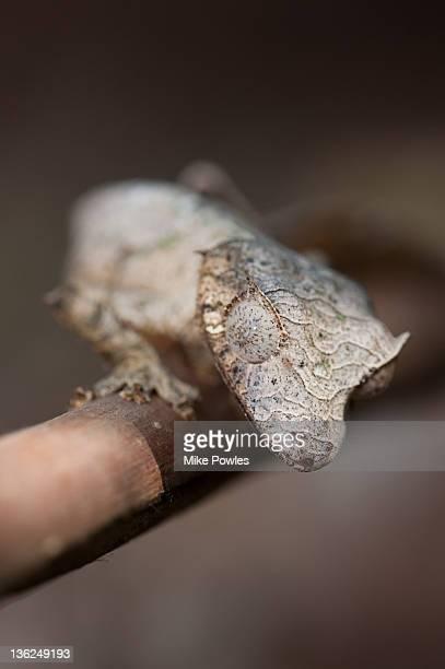 Leaf-tailed Gecko Male Madagascar