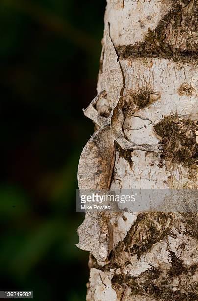 leaf-tailed gecko male madagascar - um animal imagens e fotografias de stock