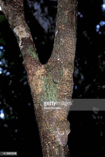 leaf-tailed gecko, uroplatus fimbriatus, camouflaged against tree, nosy mangabe reserve, madagascar - ヒロオヤモリ ストックフォトと画像
