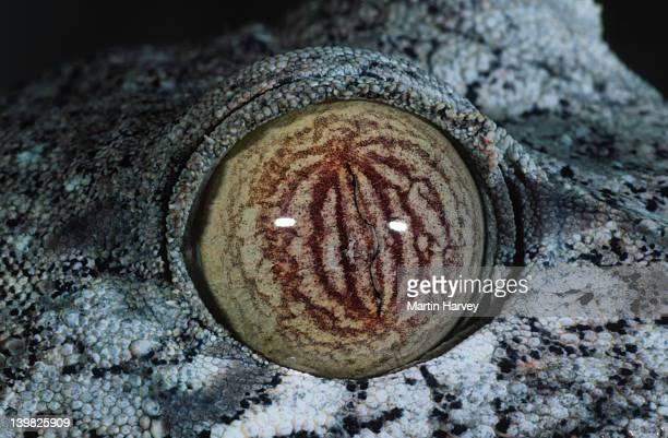 leaf-tailed gecko uroplatus fimbriatus close-up of eye showing camouflage madagascar â© m. harvey ma_gec_f_013 - ヒロオヤモリ ストックフォトと画像