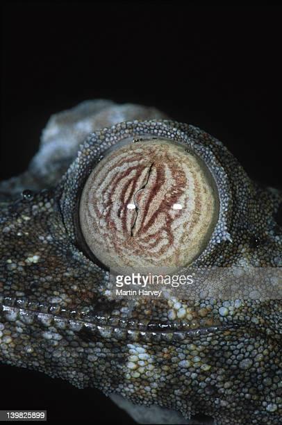 leaf-tailed gecko uroplatus fimbriatus eye colour and pattern enhance camouflage madagascar â© m. harvey ma_gec_f_014 - ヒロオヤモリ ストックフォトと画像